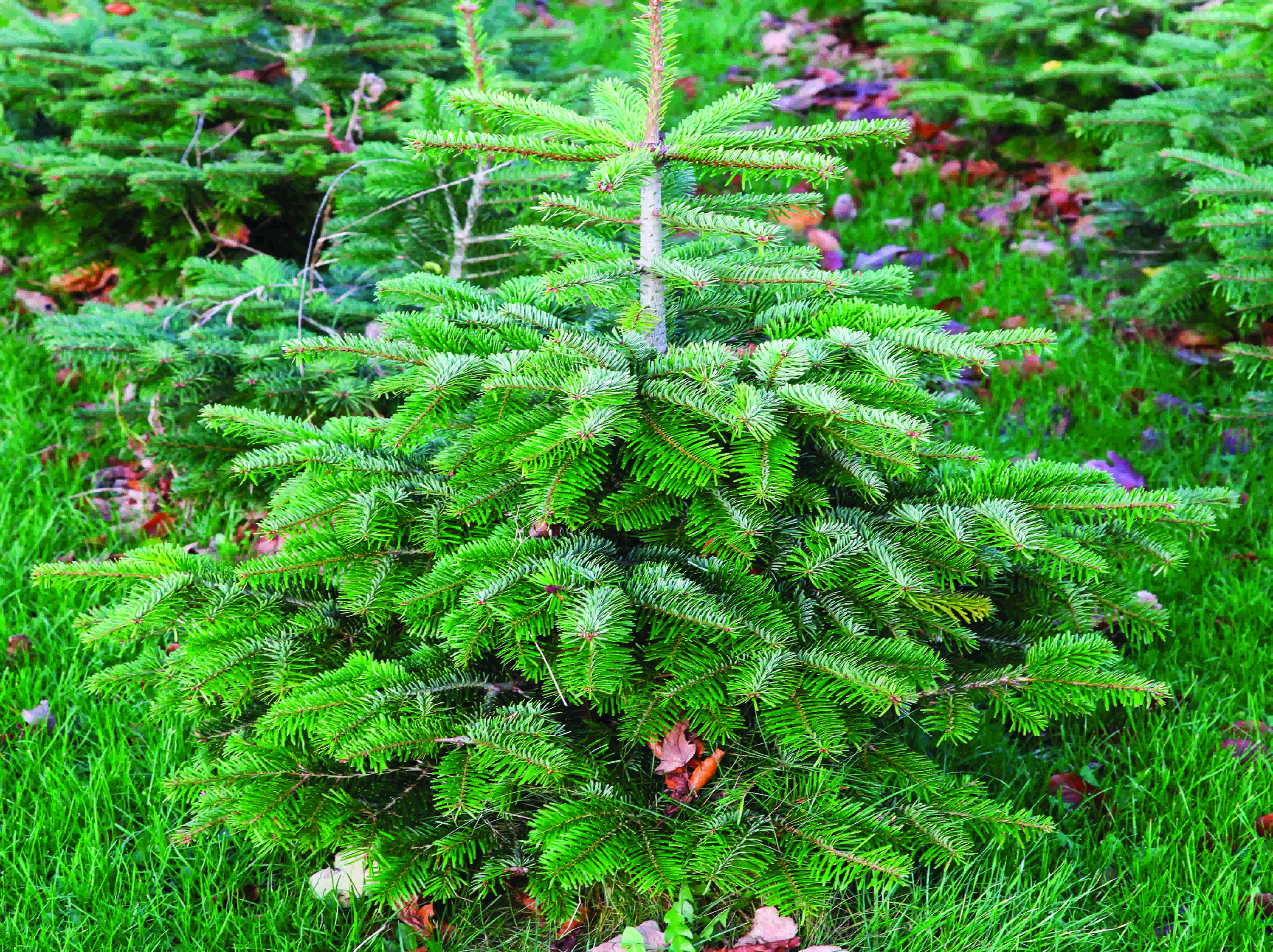 Christmas Trees Near Leeds