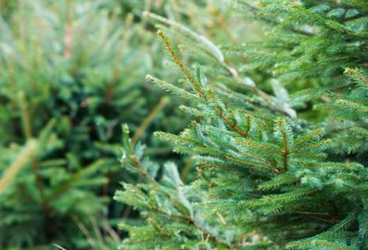 methley christmas tree farm opening times